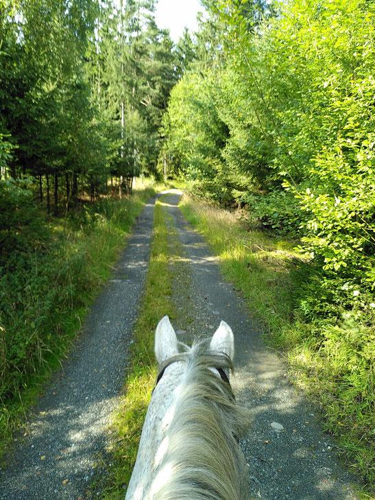 Weißes Pferd geht Waldweg entlang