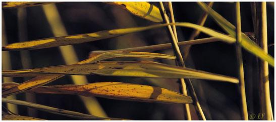 Schilf im Herbstgewand