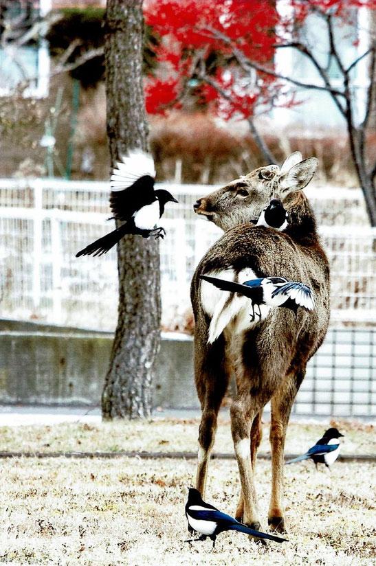 エゾシカとカササギが戯れている写真