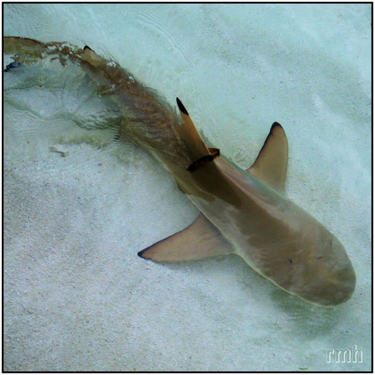 small shark in shallow water