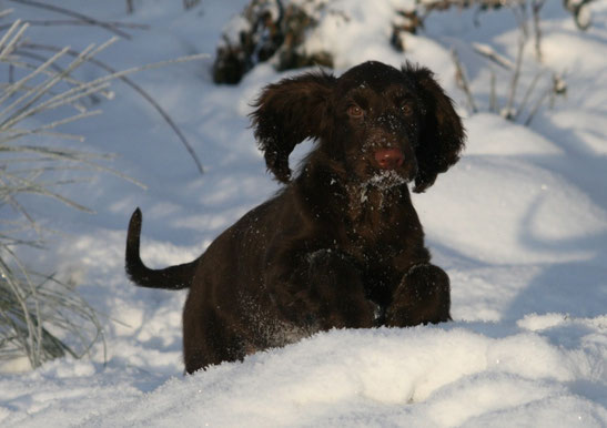 """Winterbourne Move On To Belauer See"" Vicky, Field Spaniel puppy at the age of four months Photos: Ulf F. Baumann"