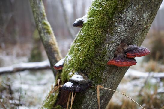 Rotrandiger Baumschwamm (Foto: Isabel Hümpfner)