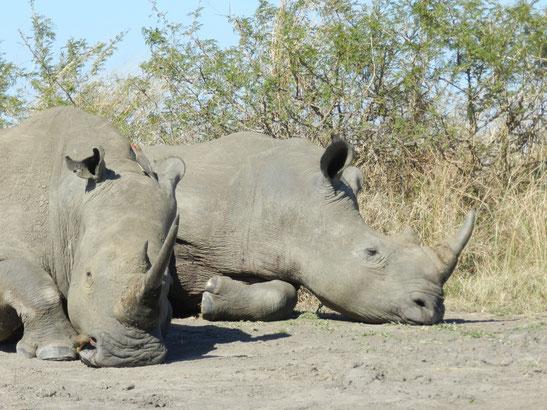 Sleeping Rhino in Hluhluwe Park