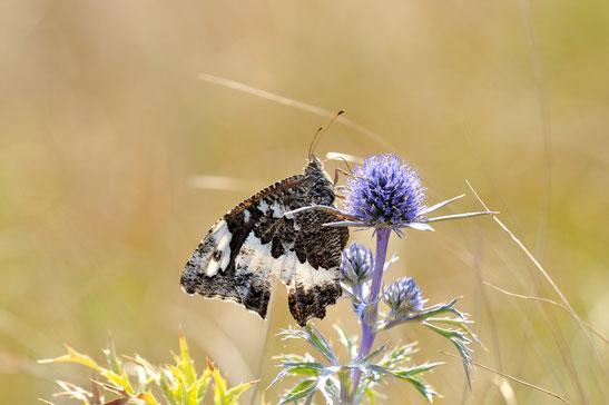 DSC_8567_Silène-Brintesia circe-Nymphalidae