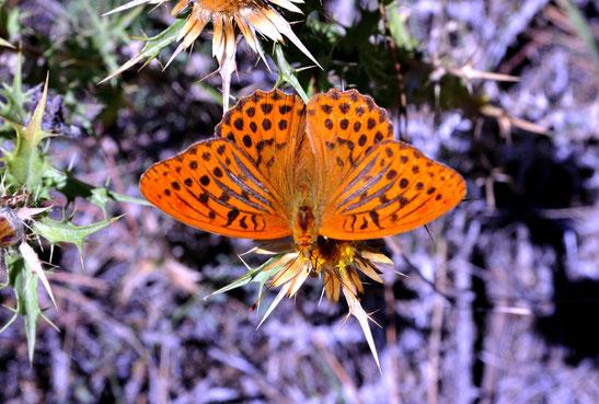 _DSC7863_Tabac d'Espagne-argynnis paphia-Silver-washed Fritillary-Nymphalidae