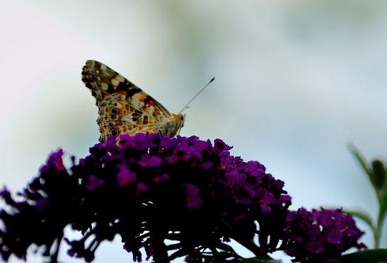 _DSC6399_La Vanesse du chardon ou Belle dame-Vanessa cardui-Painted Lady-Nymphalidae