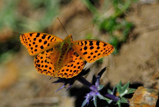 _DSC8508_Le petit nacré-Issoria Lathonia-Nymphalidae