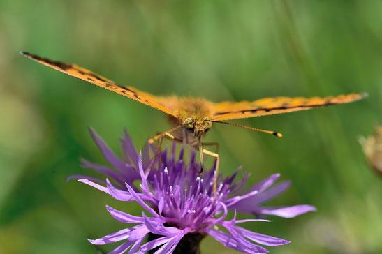 _JPM1614-Le grand nacré-Speyeria aglaja-Nymphalidae