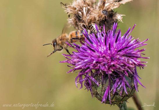 Honigbiene Flug Flockenblume