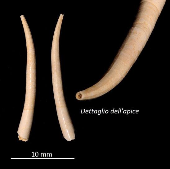 Dentalium ex-lamarcki, Miocene dell'Aquitania