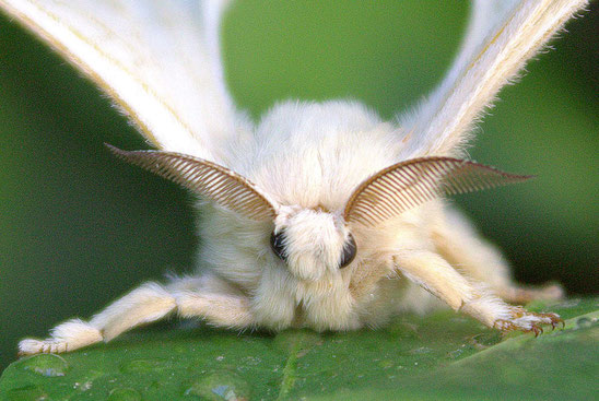 Un bombyx vu de face. Noter ses antennes en forme de peignes très développées. Source: internet.