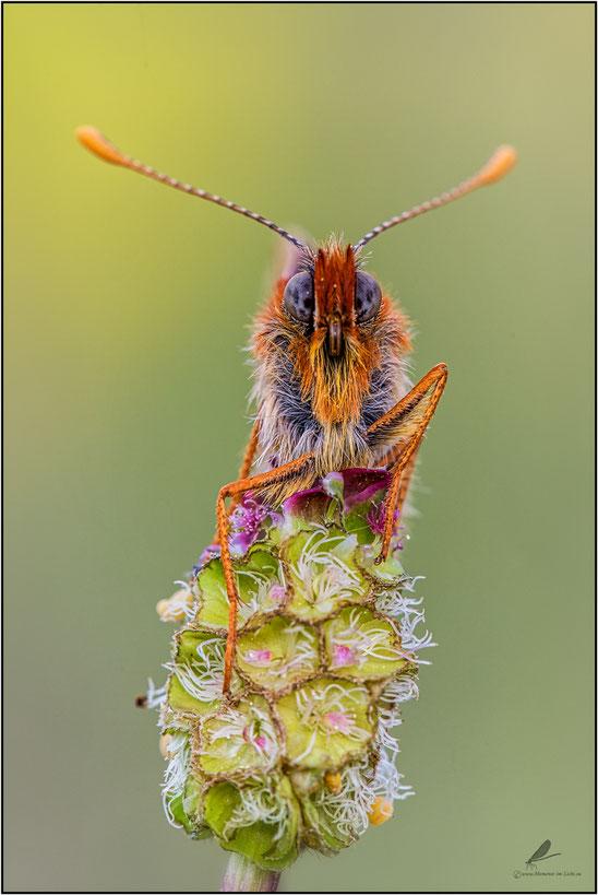 """"""" Rotbart""""  Goldener Scheckenfalter (Euphydryas aurinia)"""