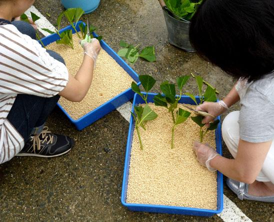 さし芽専用の黄色い鹿沼土にさします
