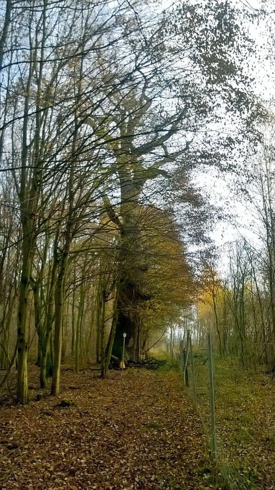 1000-jährige Eiche bei Lietzo