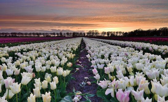 653. Witte tulpen bij zonsondergang (4091)