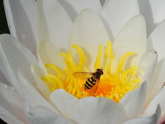 Garten-Schwebfliege Syrphus ribesii - Sabine Rümenap -wildes Ostfriesland