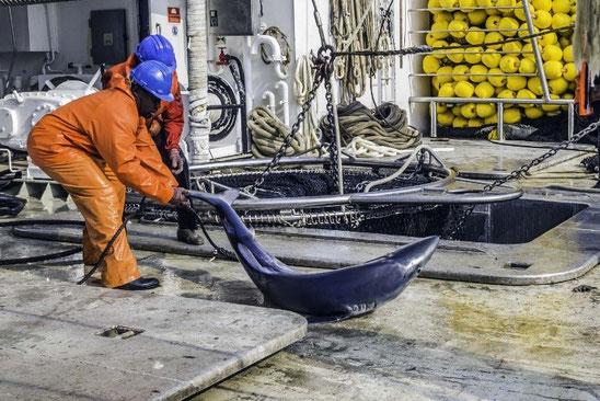 Foto: Sea Shepherd |Stop Finning