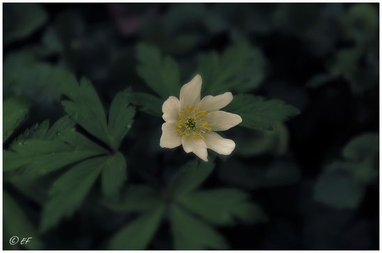 Die Blüte des Wind-Buschröschens