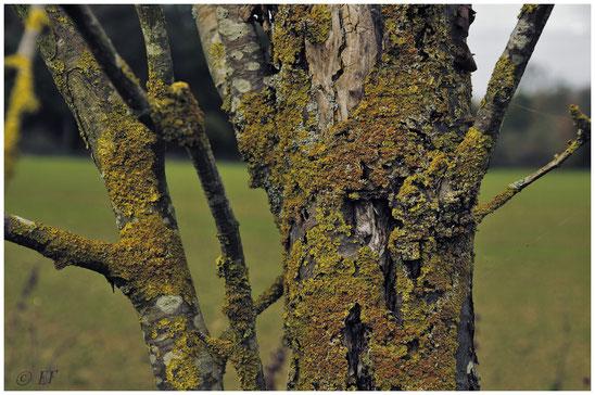 Ein von Flechten überzogenes Totholz