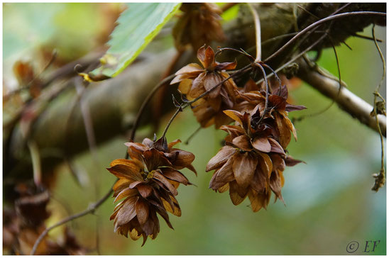 Vertrocknete Blüten des Wilden Hopfens