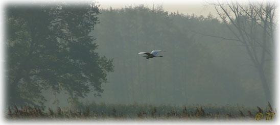 Ein Silberreiher & sein Flug