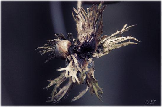 Ein vertrockneter Haselnussmantel