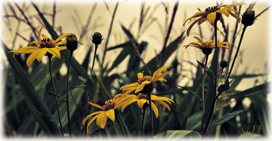 Sonnenblumen im frühen Morgenlicht