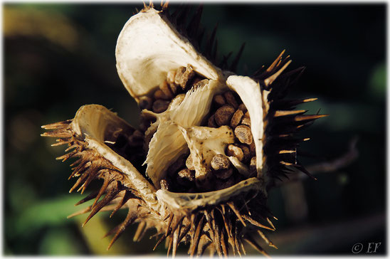 Stachelig schön (Der Weiße Stechapfel)