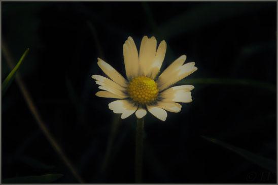 Ein Gänseblümchen im Morgenlicht