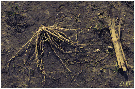 Reste einer Maispflanze
