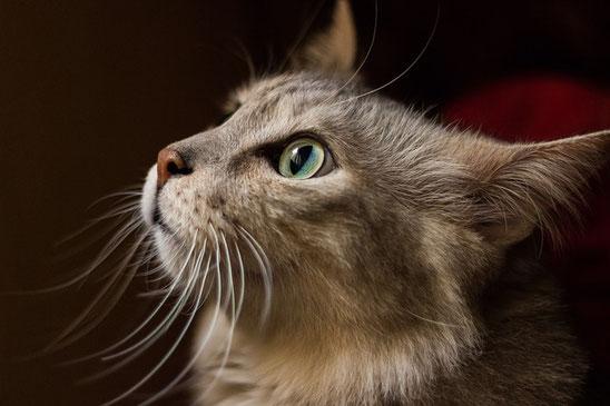 Katze Versicherung ohne Selbstbeteiligung und mit unbegrenzter Kostenübernahme
