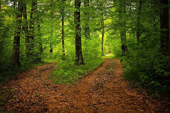 Dans un sous bois, le chemin principal jonché de feuilles mortes se sépare en deux qui s'enfoncent dans la forêt verte de grands arbres