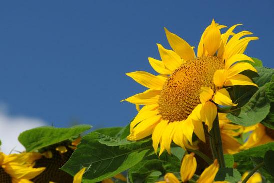 ひまわりのように青空に向かって明るく夏を過ごしたいものです