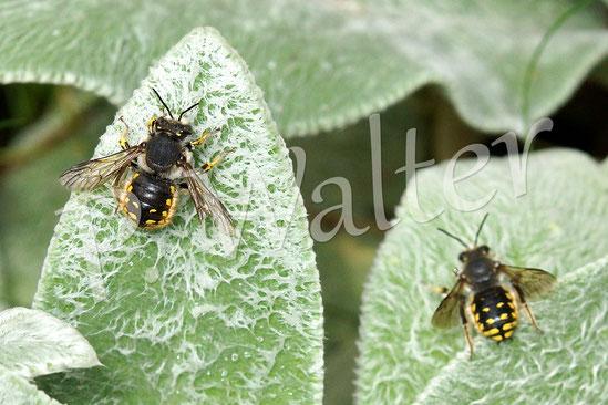22.07.2014 : Männchen der Garten-Wollbiene auf den Blättern des Woll-Ziest