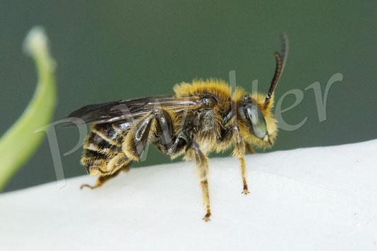 11.06.2020 : Waldschenkelbiene, Macropis fulvipes, Männchen rastet auf einer Glockenblumenblüte