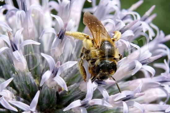 Bild: Weibchen der Gelbbindigen Furchenbiene, Halictus scabiosae, an der Kugeldistel