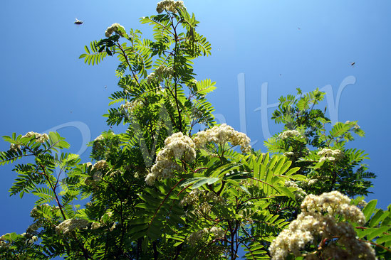 20.05.2018 : Eberesche in voller Blüte, umflogen von etliche (Wild)Bienen