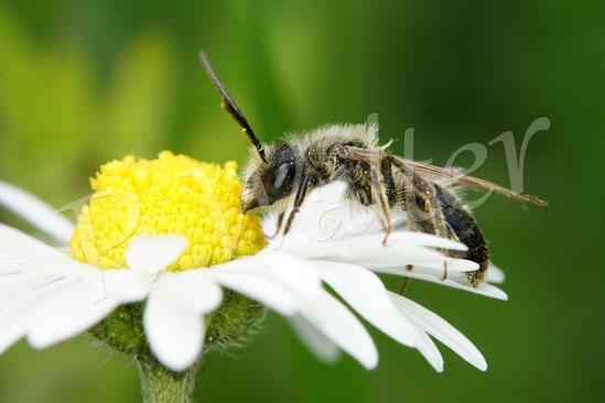 Bild: Sandbienenmännchen, Andrena spec., ? am Gänseblümchen