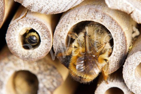 Bild: Hahnenfuß-Scherenbiene, Osmia florisomne, Rostrote Mauerbiene, Osmia bicornis