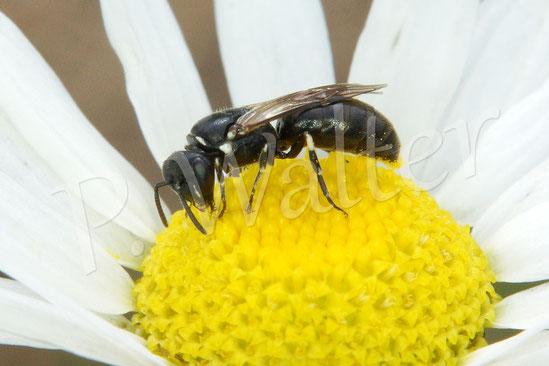 Bild: eine kleine Maskenbiene, Hylaeus spec., auf einer Kamillenblüte