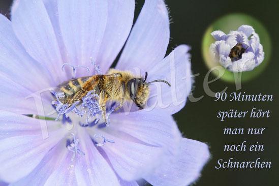 Bild: eine Wildbiene legt sich zum Schlafen in eine Wegwartenblüte