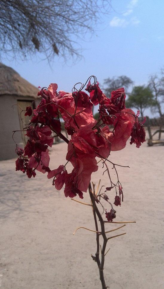 ボツワナの曼珠沙華