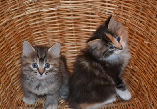 курильские борбтейлы, котята курильского бобтейла, питомник bobtail*house