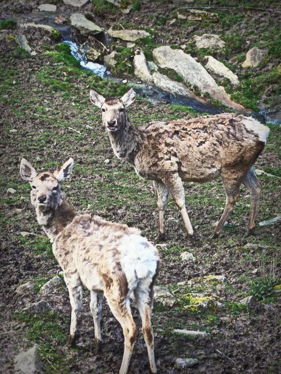 Buchara-Hirsch Opel-Zoo Saarland Merzig