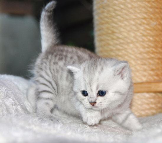 Femelle shorthair bleu silver spotted tabby réservée