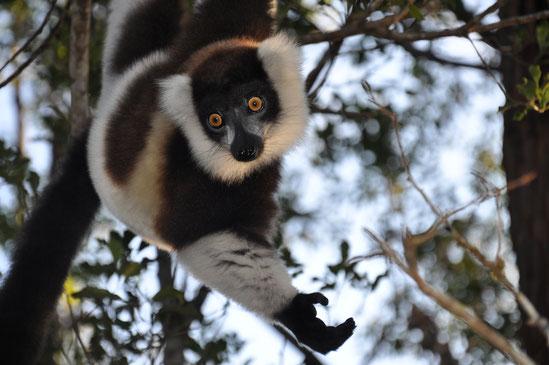 Lemur Madagaskar Reise