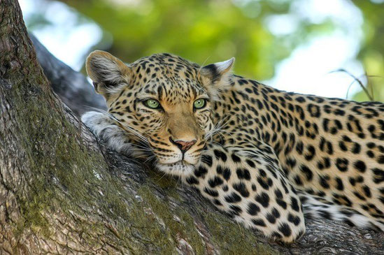 Gepard, Simbabwe-Reise