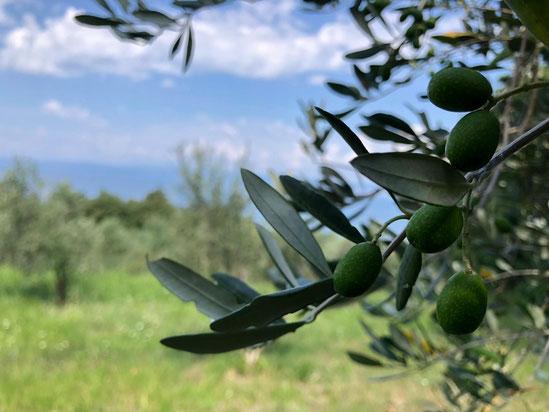 Olivenbäume in der Toscana