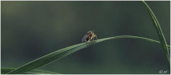 Eine Gelbe Dungfliege ruht auf einem Grashalm