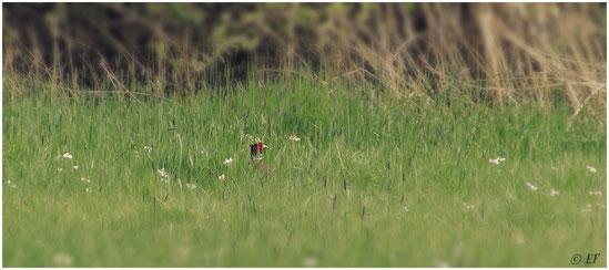 Man/frau muss genau hinschauen: Ein Fasanenmännchen im hohen Gras versteckt